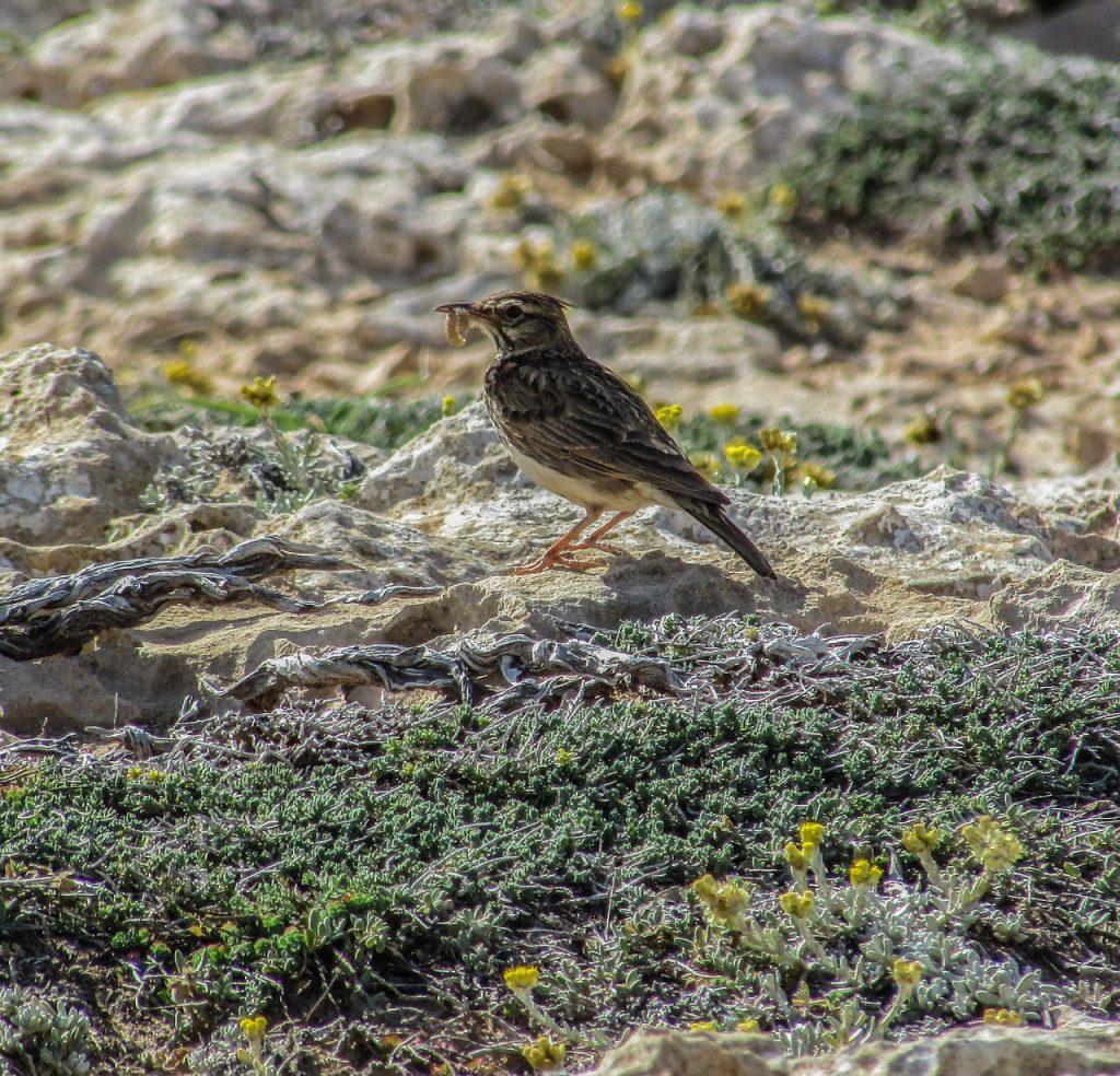 lark bird names