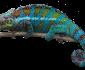 chameleon lizard names