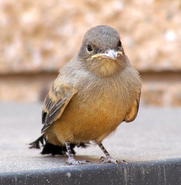 phoebe bird names