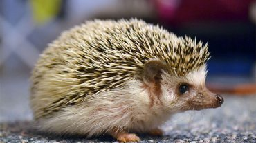 cute-hedgehog