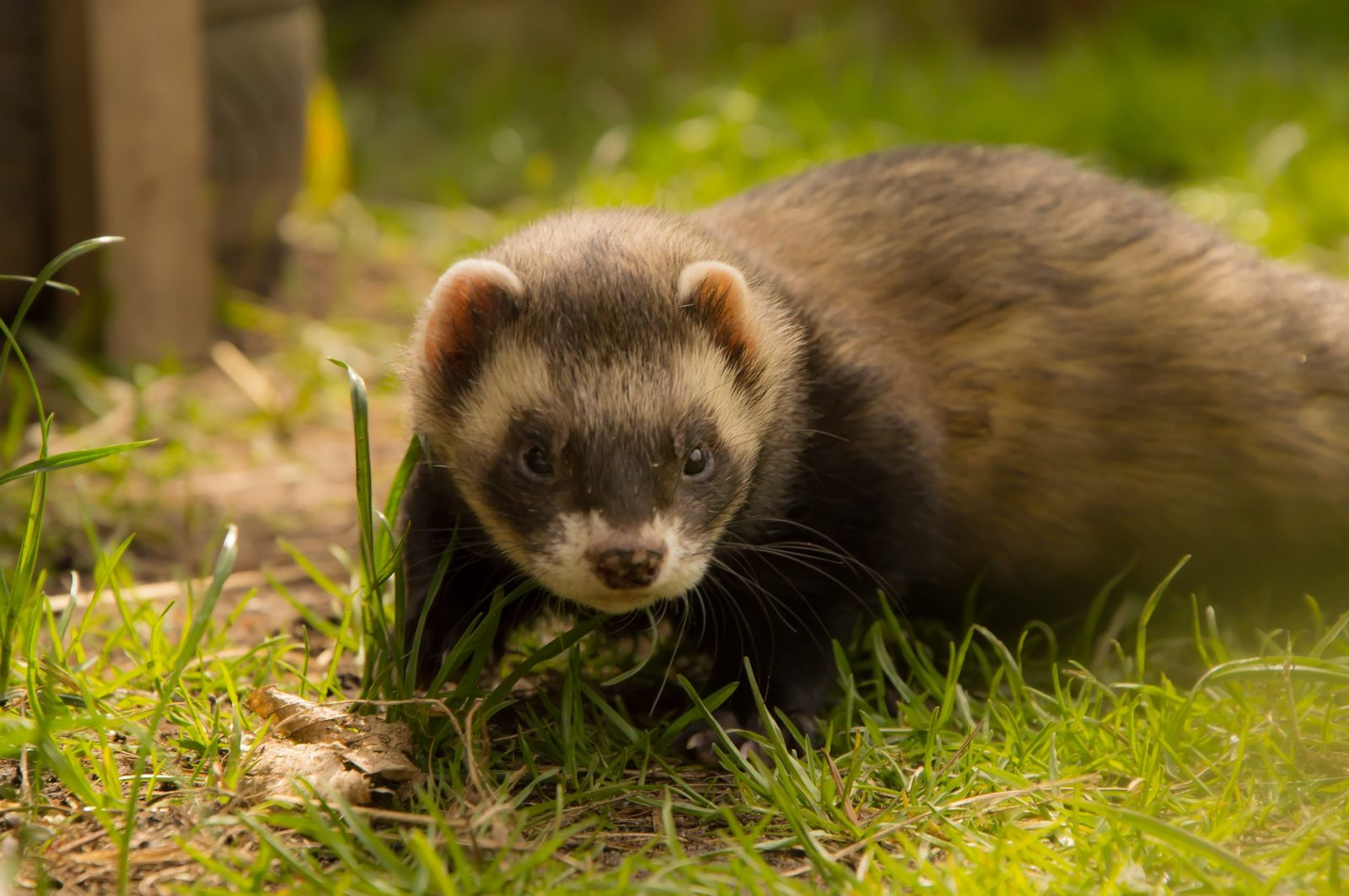 Ferret Names: Special Creatures Deserve Well-Fitting Names