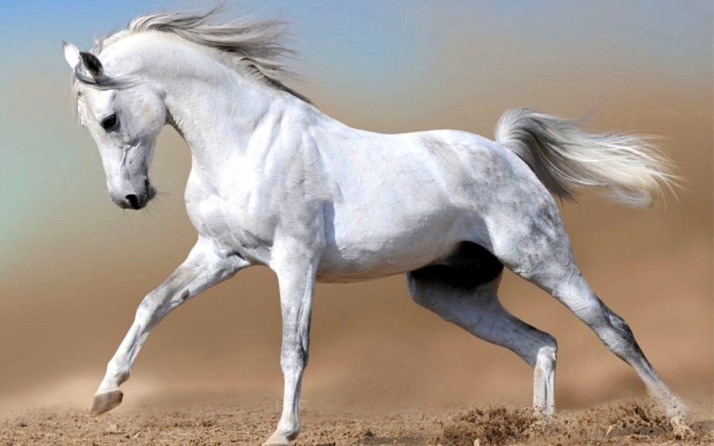White horse img