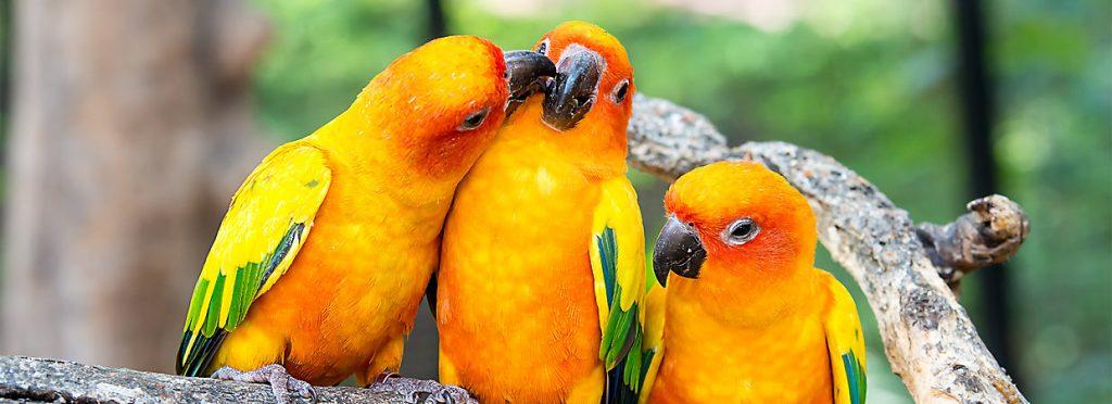 three beautiful sun parakeets