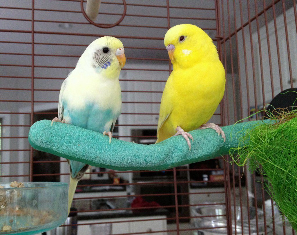 light blue and yellow parakeets right next to each other inside a cage