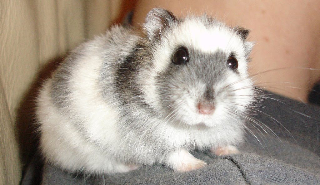 a big white and grey hamster seemingly waiting for awesome hamster