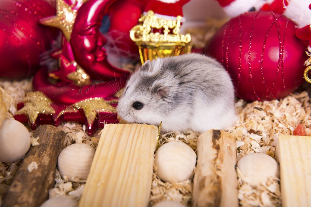 a small hamster with its black and white soft fur which suits any cute hamster