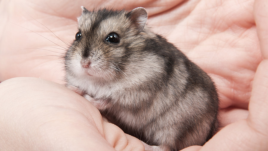 two hands holding a hamster with white and brown fur perfect to get any classy hamster