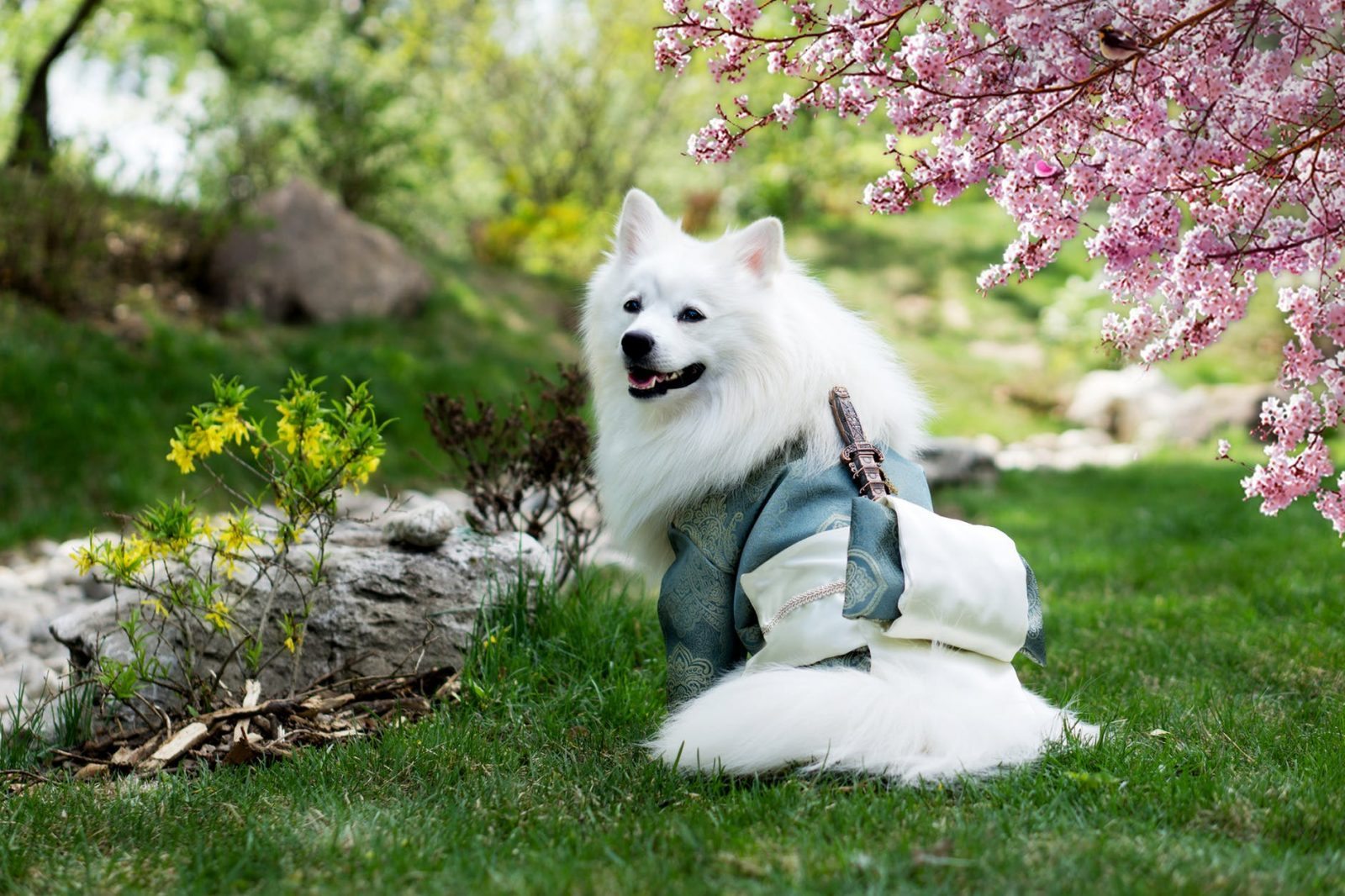White dog wearing a Japanese costume in the garden