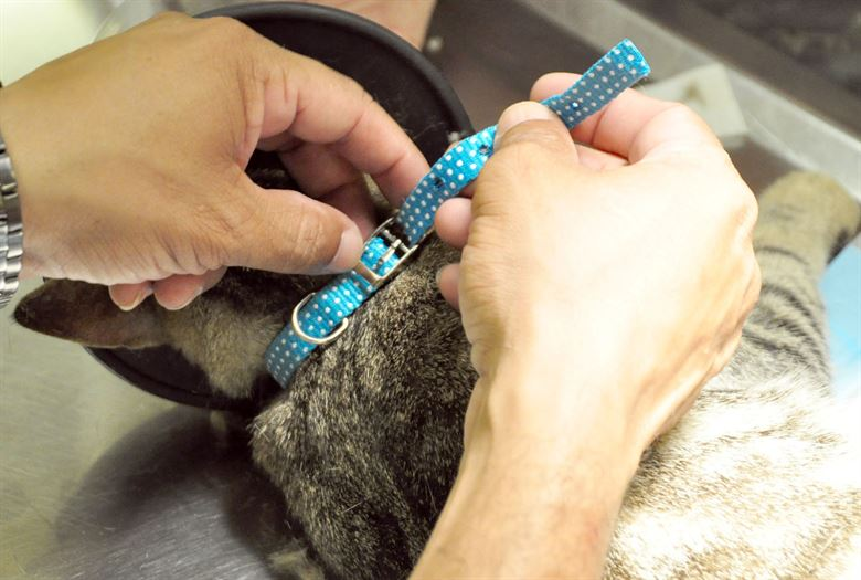 pet owner putting a breakaway collar to the neck of his cat