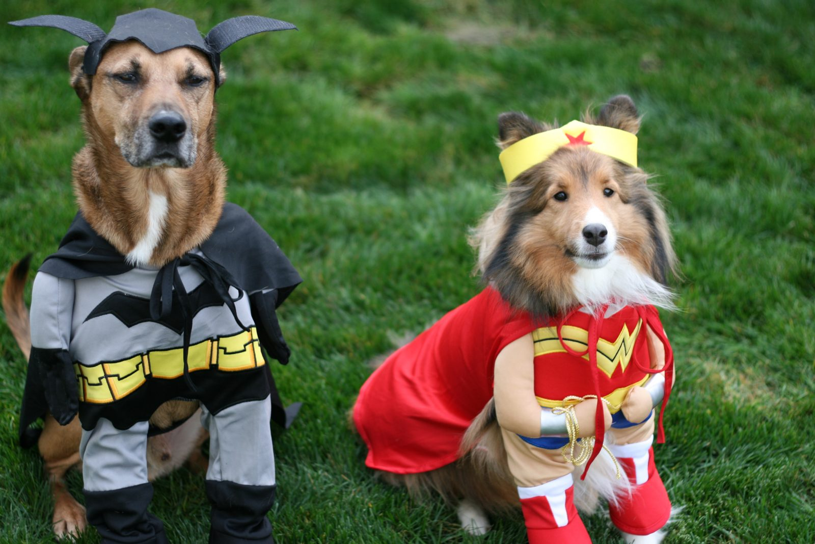 adorable dogs dressed in batman and superwoman costumes