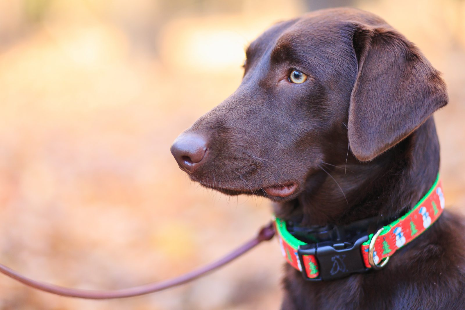 a Labrador dog wearing a brightly colored collar to track its location