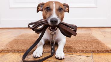 pet biting his brown leash