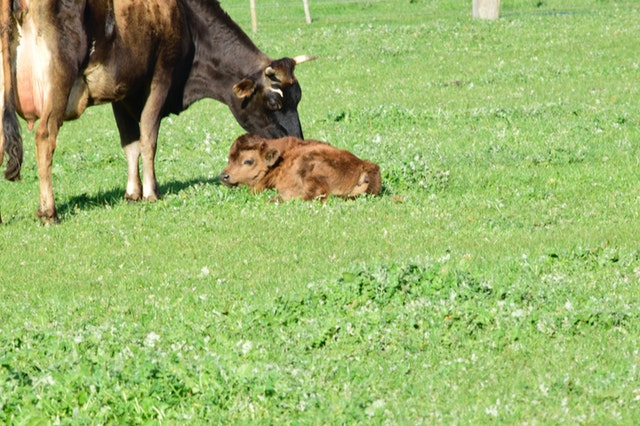 a mother cow looking after her calf who may need to get one of the best cow names