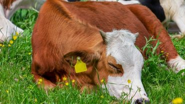 small calf sleeping on the green pasture and may be named after one of the cutest cow names